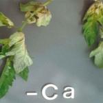 نقش کلسیم در گیاهان